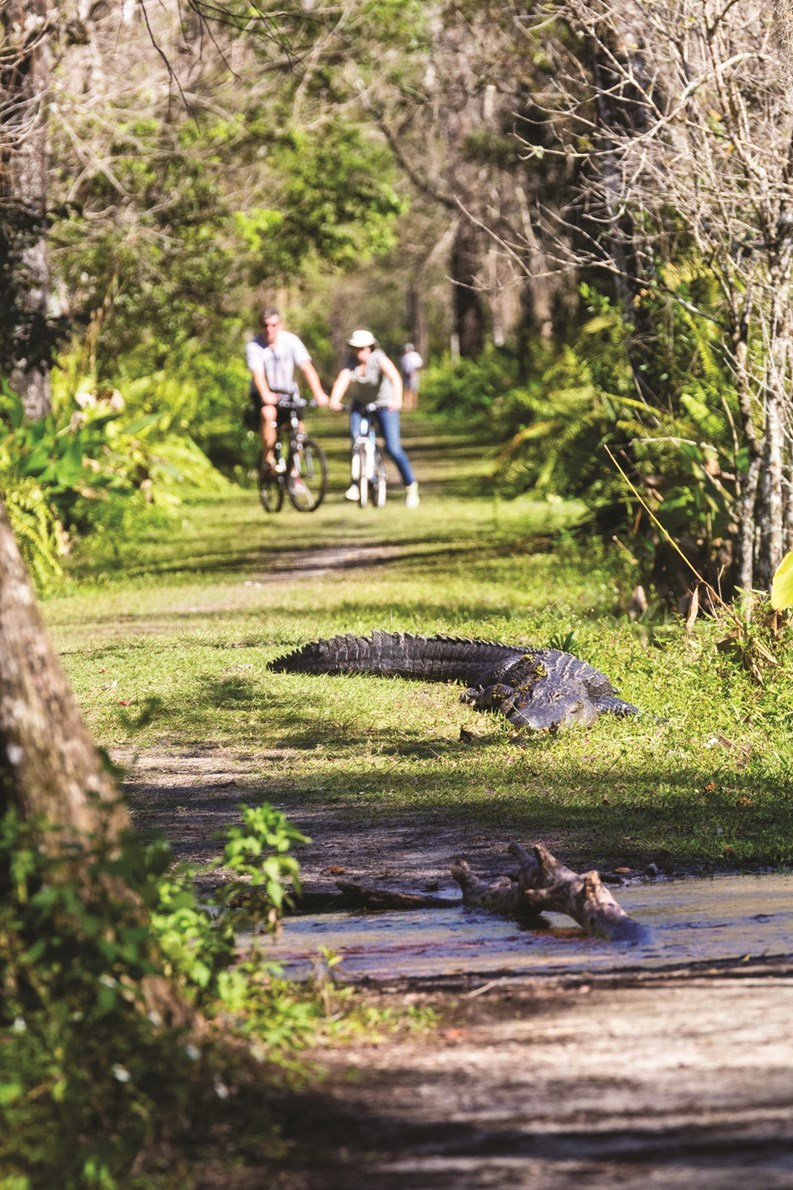 Watch Alligator Tries To Flee Trappers By Climbing Tall Fence Upi Com